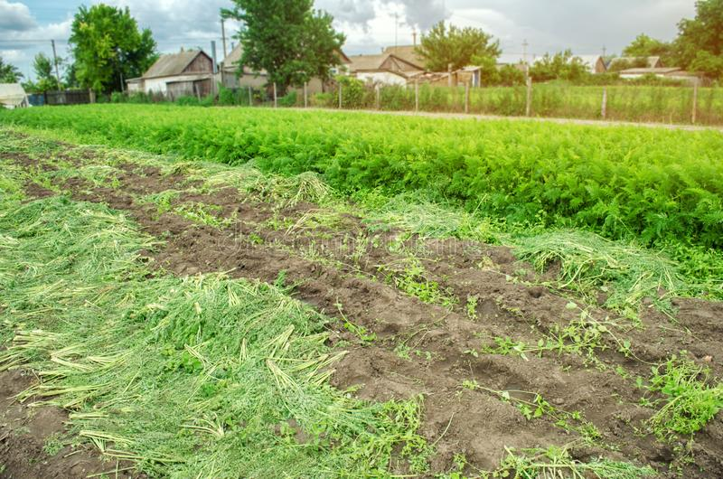 Rolniczy pole z stronniczo zbierającą marchwianą uprawą Sezonowa rolna praca Narastający życzliwi warzywa Rolnictwo zdjęcia royalty free