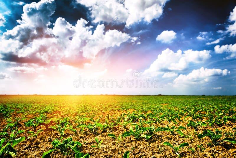 Rolniczy pole z zielonymi sugarbeet flancami obraz stock
