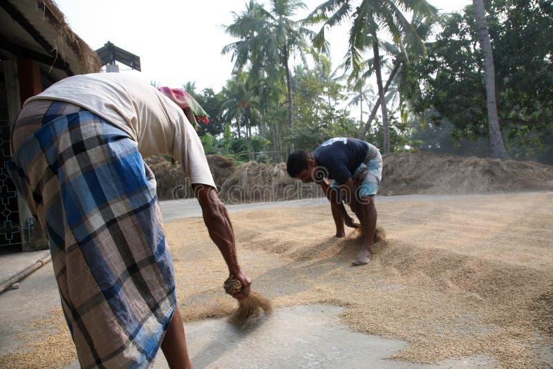 rolniczy suszarniczy ryżowi pracownicy zdjęcia stock