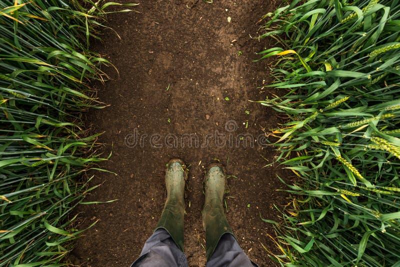Rolnik chodzi przez błotnistego pszenicznego pola w gumowych butach zdjęcia stock
