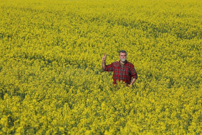Rolnik egzamininuje kwitnący rapeseed gestykulować i pole obraz stock