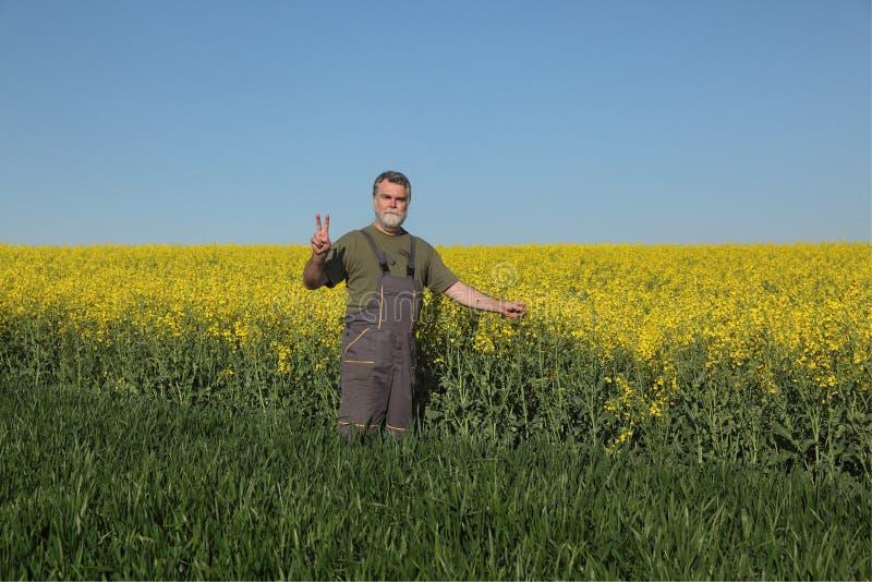 Rolnik egzamininuje kwitnący rapeseed, pszenicznego pole i gesturi fotografia stock