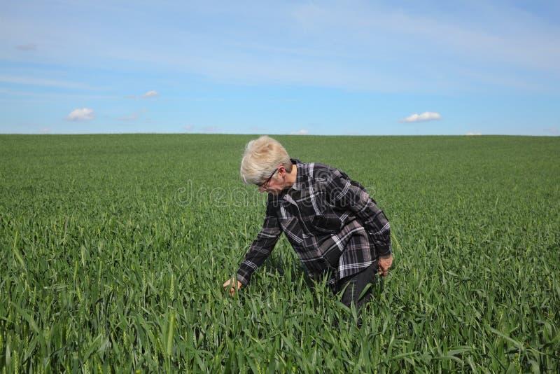 Rolnik egzamininuje pszenicznego pole w wiośnie fotografia stock