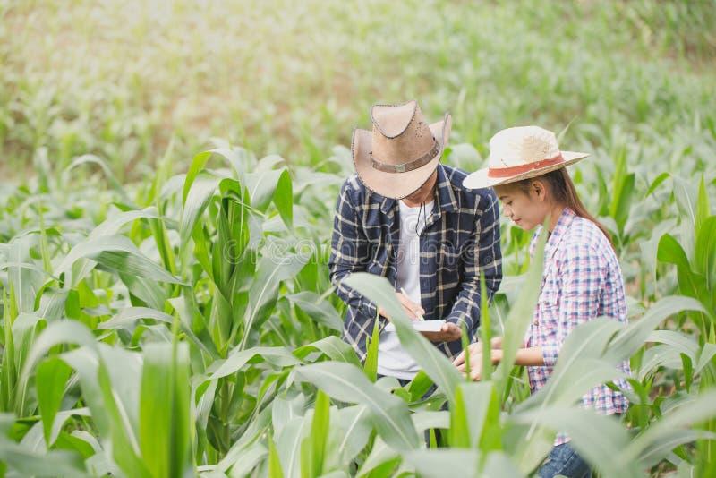 Rolnik i badacz analizuje kukurydzanej rośliny fotografia stock