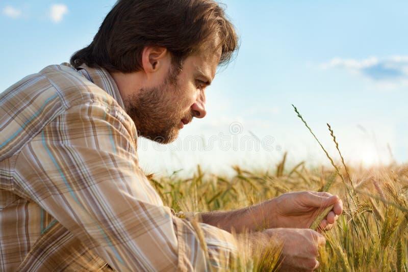Rolnik kontrola jego pszeniczny kultywaci pole obraz royalty free