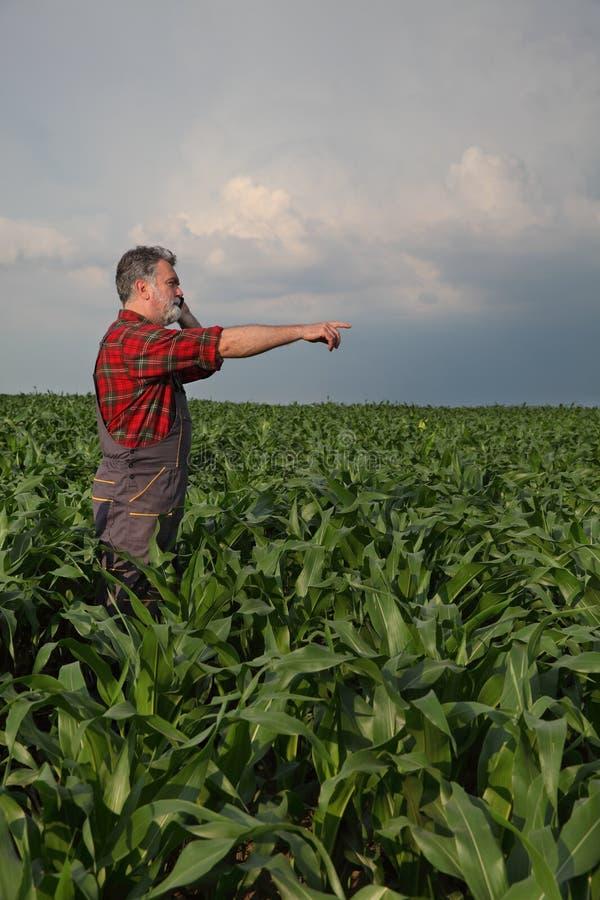 Rolnik lub agronom egzamininujemy ilość kukurydzane rośliny w śródpolnym mówieniu i gestykulować wskazywać telefonem komórkowym zdjęcia royalty free