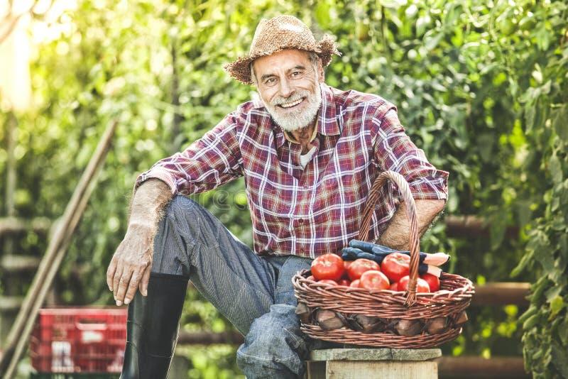 Rolnik, ogrodniczka i kosz z pomidorami przed pomidorowymi śliwkami, zdjęcie stock