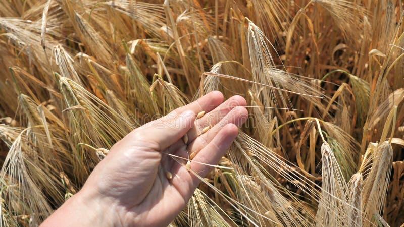 Rolnik posiada kolczyk o złotym kolorze dojrzałej naturalnej pszenicy naturalnej naturalnej, dojrzałej do gotowania whiskey lub p zdjęcie royalty free