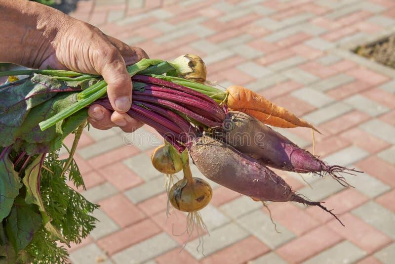 Rolnik prowadzÄ…cy Å›wieżo zebrane ziarniste buraki organiczne, marchew i cebula na podwórku zdjęcie stock