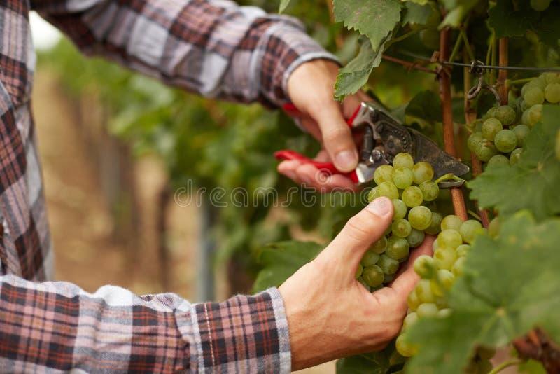 Rolnik ręki trzyma ogrodowych secateurs z rolnikiem świeżo podczas żniw winogron i zdjęcie stock
