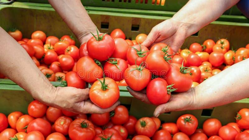 Rolnik ręki Z Świeżo Zbierającymi pomidorami obrazy royalty free