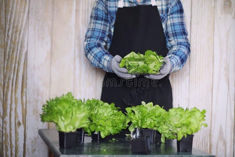 Rolnik r świeżych sałata liście dla przygotowania smakowity d zdjęcia royalty free