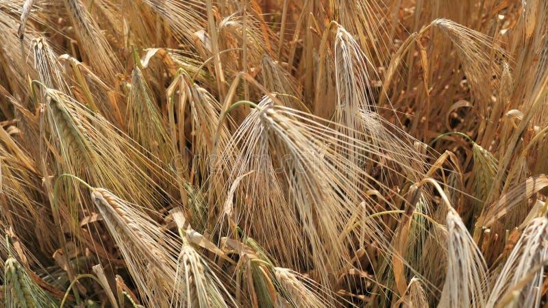 Rolnik rolniczy posiada kolczyk złocisty, dojrzały, ekologiczny naturalny pszenica zimowa przetworzony na mąkę i pasza dla zdjęcie royalty free