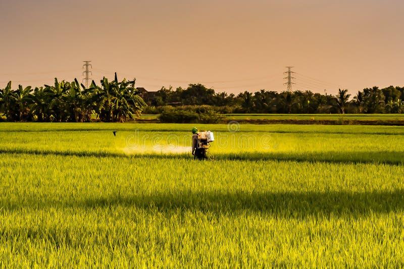 Rolnik rozpyla flit, w ryżowych polach w wieczór rolnictwa procesie w Tajlandia obrazy royalty free