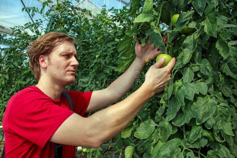 Rolnik Sprawdza Pomidorowe rośliny W szklarni zdjęcie royalty free