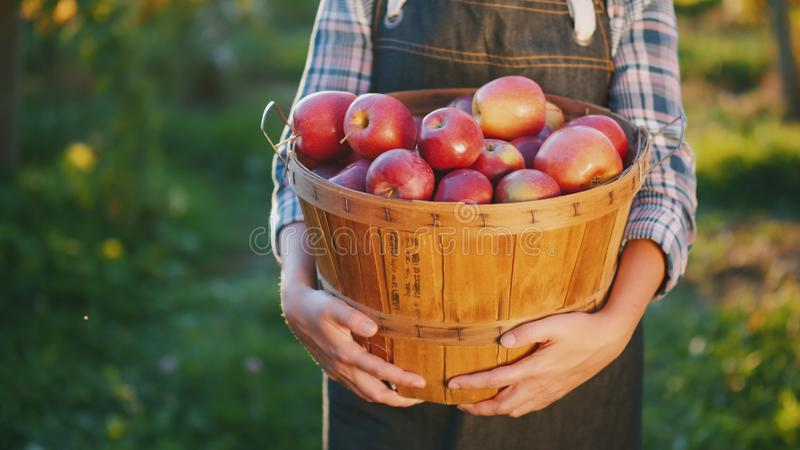 Rolnik trzyma kosz z dojrzałymi czerwonymi jabłkami Organicznie produkty od twój ogródu zdjęcia stock