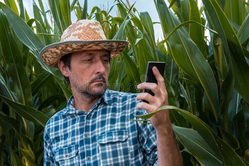 Rolnik używa mądrze telefon w kukurydzanym polu obraz stock