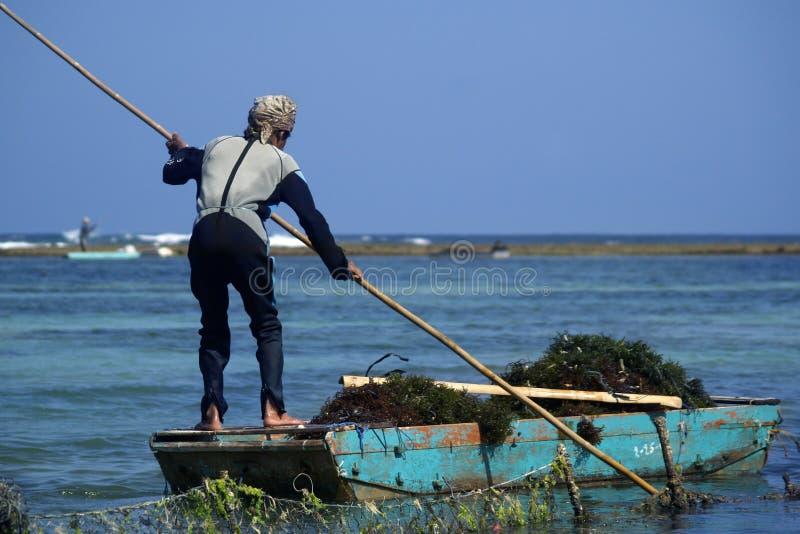 Rolnik w łódkowatej zbiera dennej świrzepie fotografia stock
