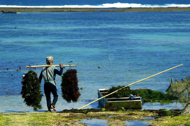 Rolnik w łódkowatej zbiera dennej świrzepie fotografia royalty free