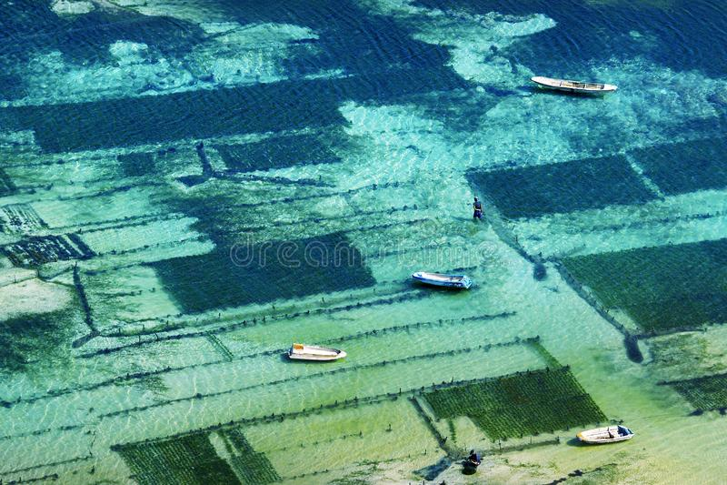 Rolnik w łódkowatej zbiera dennej świrzepie obrazy stock