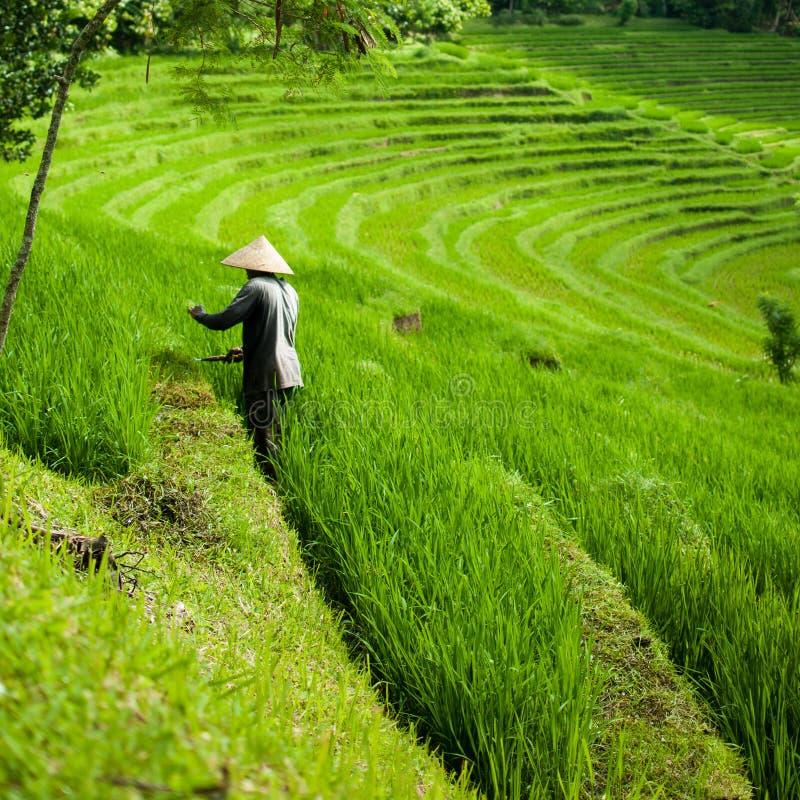 Rolnik w ryż polach, piękni ryż tarasuje na Bali fotografia stock