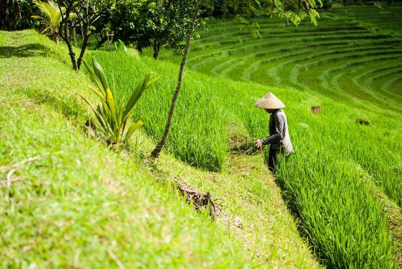Rolnik w ryż polach, piękni ryż tarasuje na Bali obrazy royalty free