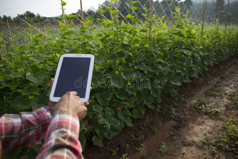 Rolnik wykorzystujący cyfrowe tablety na polu upraw ogórków, nowoczesne zastosowanie technologiczne w uprawach rolnych obraz royalty free