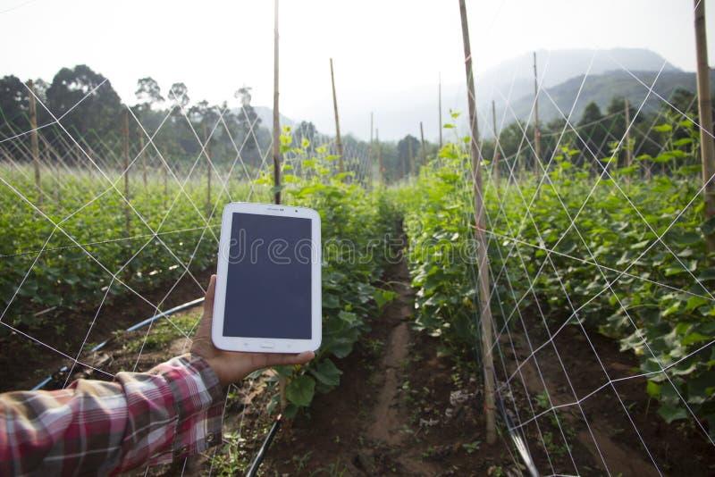 Rolnik wykorzystujący cyfrowe tablety na polu upraw ogórków, nowoczesne zastosowanie technologiczne w uprawach rolnych zdjęcia royalty free