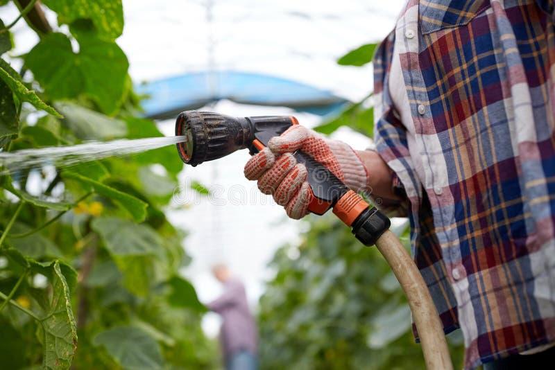Rolnik z ogrodowego węża elastycznego podlewaniem przy szklarnią obrazy stock