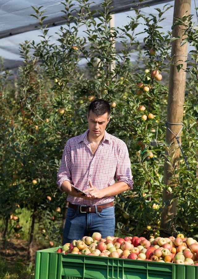 Rolnik z pastylką w jabłczanym sadzie podczas żniwa obrazy stock