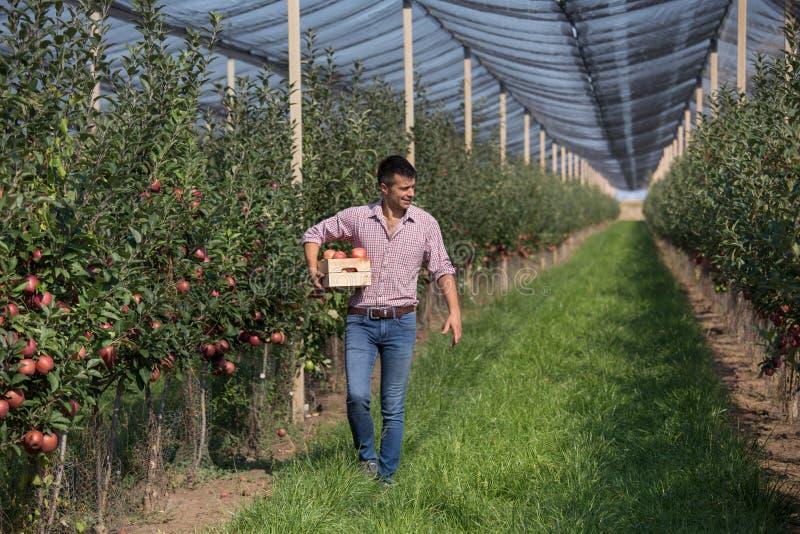 Rolnik z skrzynką w jabłczanym sadzie obraz stock
