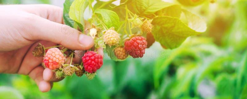Rolnik zbiera świeże malinki w ogródzie na słonecznym dniu Lato jagoda zdrowa żywność Selekcyjna ostrość zdjęcie royalty free