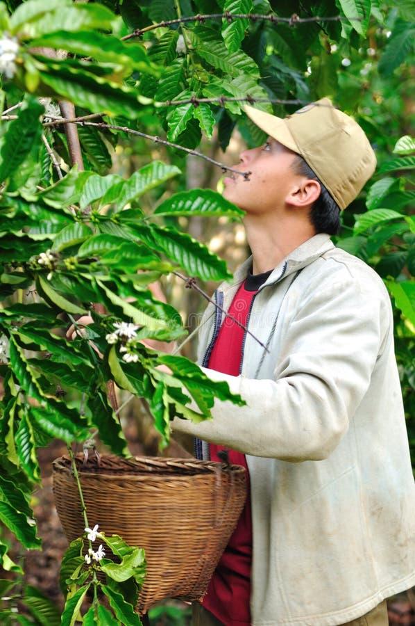 Rolnik zbiera kawowe jagody obrazy stock