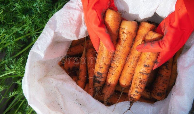 Rolnik zbiera marchew w worku polipropylenowym fotografia royalty free