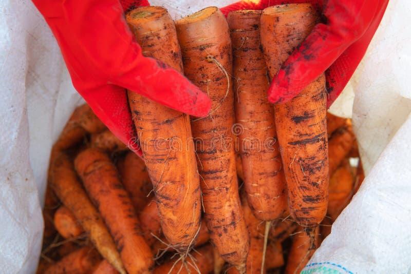 Rolnik zbiera marchew w worku polipropylenowym zdjęcia stock