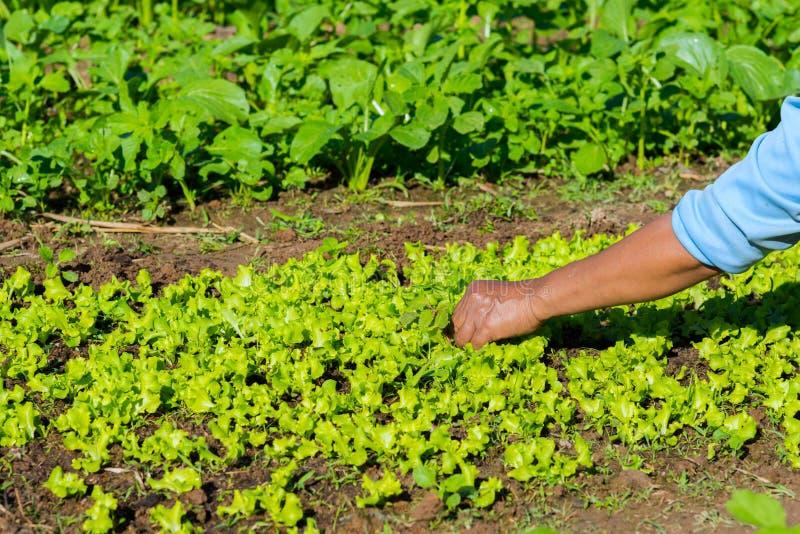 Rolnik zbiera warzywa obrazy royalty free