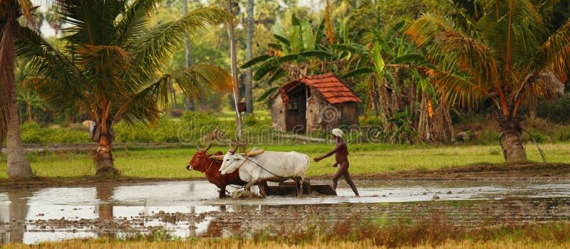 rolnika pole zalewający indyjscy oxes ryżowi zdjęcie royalty free