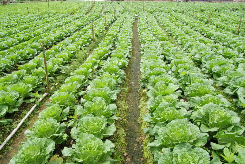 rolny warzywo zdjęcie stock