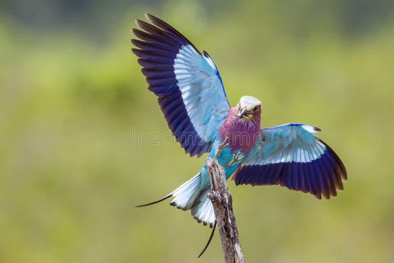 Rolo do lilás-breasted no parque nacional de Kruger, África do Sul imagens de stock