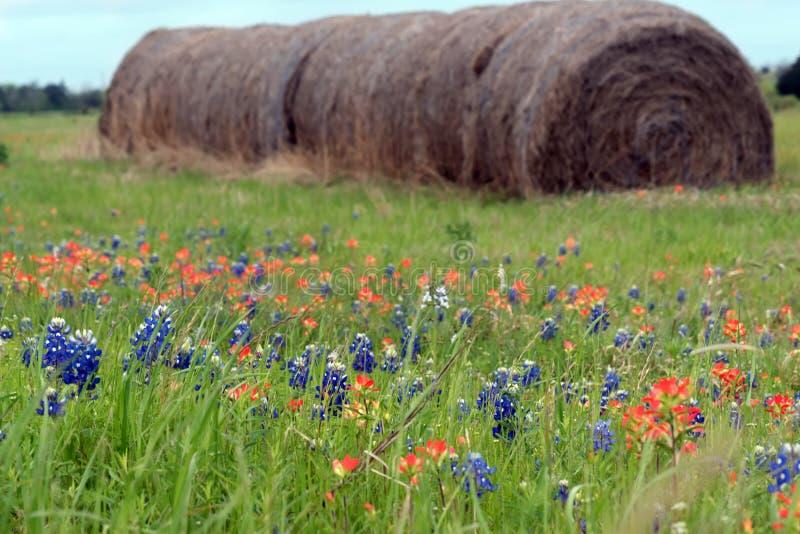 Rolos do feno em tremoceiros de florescência e em uma escova indiana Texas, bluebonnet da estação imagem de stock