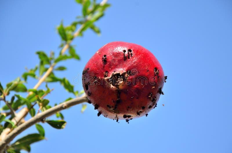 Romã contaminada pela mosca de fruto mediterrâneo fotografia de stock