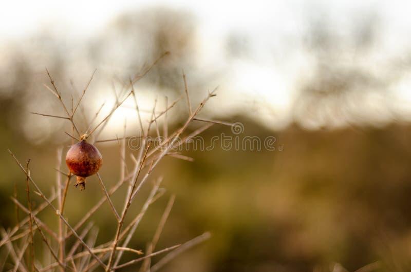 Romã do inverno que pendura por si só fotografia de stock