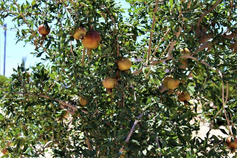Romã, granatum do Punica, fruto que carrega o arbusto decíduo ou a árvore pequena situado na angra da rainha, o Arizona, Estados  imagens de stock royalty free