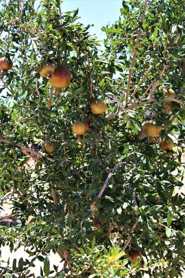Romã, granatum do Punica, fruto que carrega o arbusto decíduo ou a árvore pequena situado na angra da rainha, o Arizona, Estados  fotos de stock royalty free