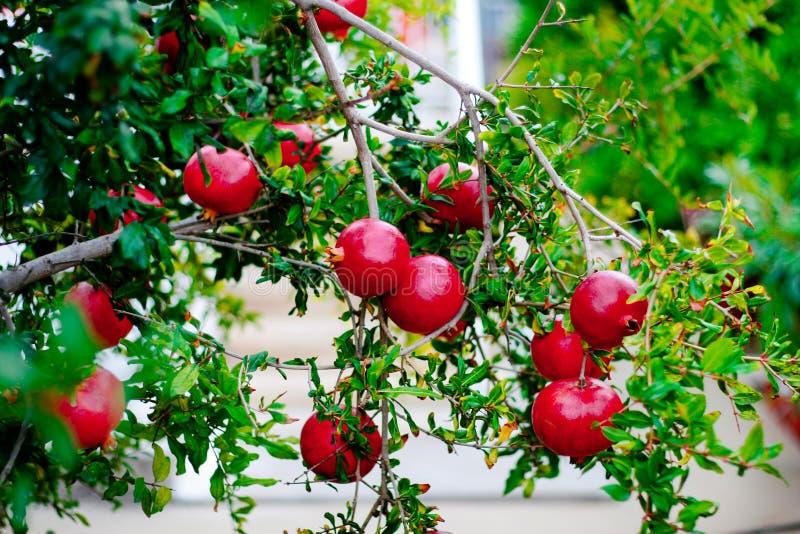 Romã maduras vermelhas em um ramo verde fotos de stock