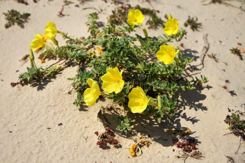 Roma?ska akwedukt pla?a, wiecz?r pierwiosnku kwiat Izrael obrazy royalty free