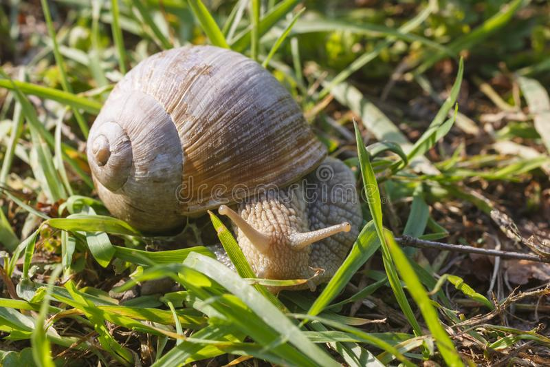 Romański ślimaczek na trawie obraz stock