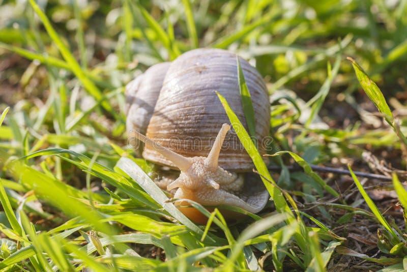 Romański ślimaczek na trawie zdjęcia stock