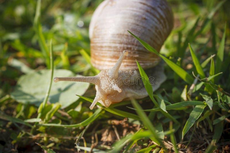 Romański ślimaczek na trawie zdjęcie royalty free