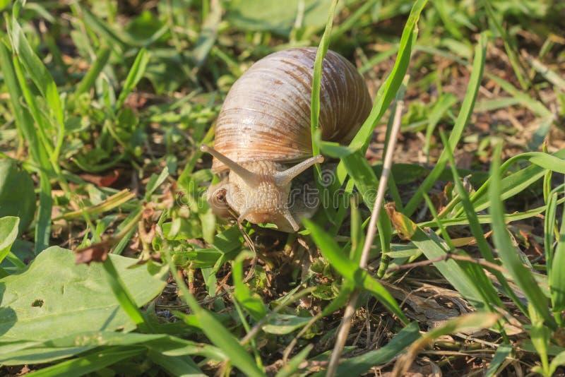Romański ślimaczek na trawie zdjęcia royalty free